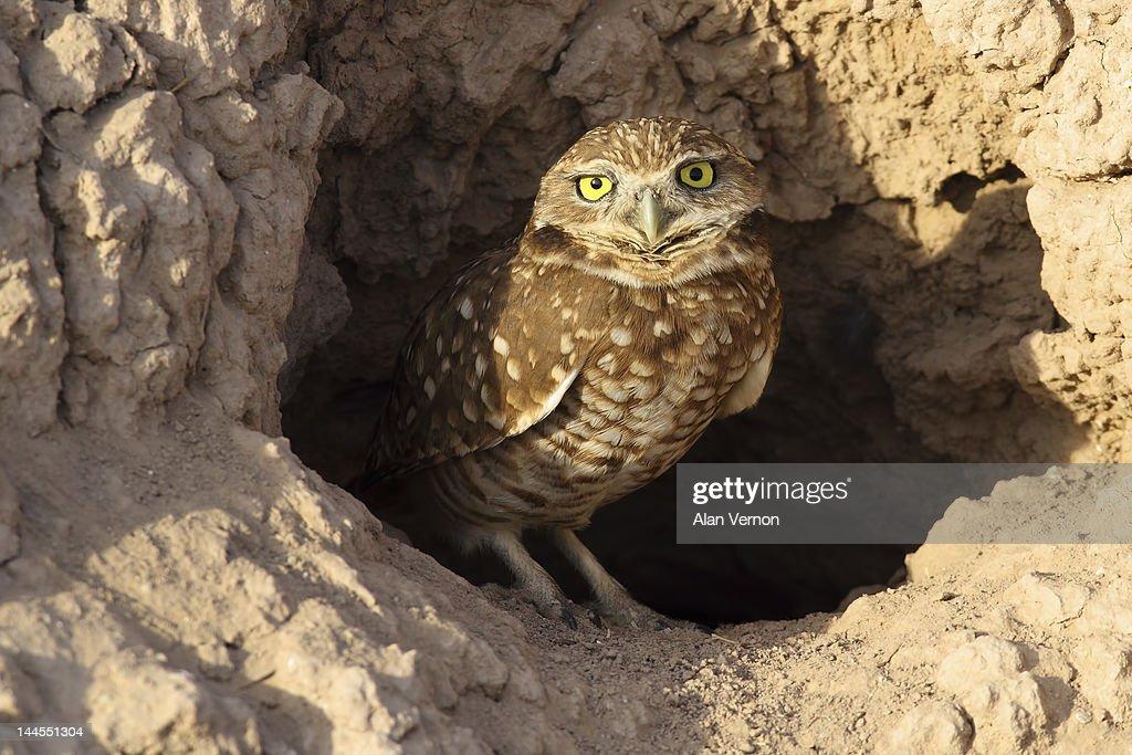 Burrowing owl : Stock Photo