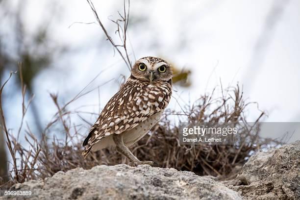 burrowing owl - aruba stockfoto's en -beelden