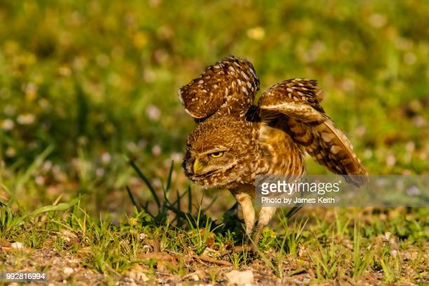 A burrowing owl stalks a small insect it has spotted near its burrow.