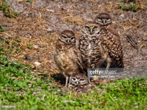 A burrowing owl stands near her burrow surrounded by her offspring who are nearly as large as her.
