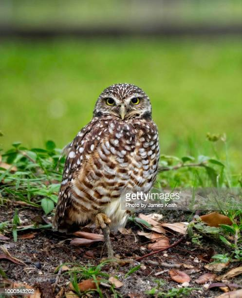 A burrowing owl stands one legged on sentry duty near its underground nest.