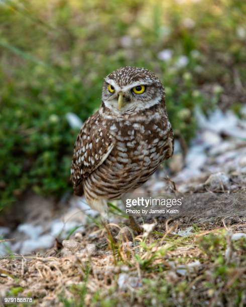 A burrowing owl stands sentry duty near its burrow.