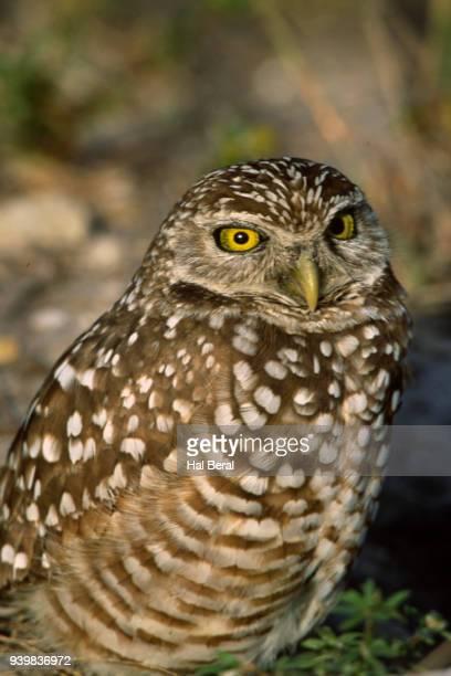 Burrowng Owl close-up