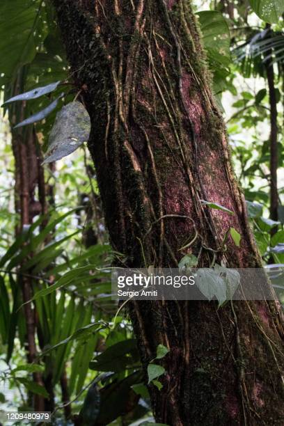 bursera simaruba tree - bark stock pictures, royalty-free photos & images