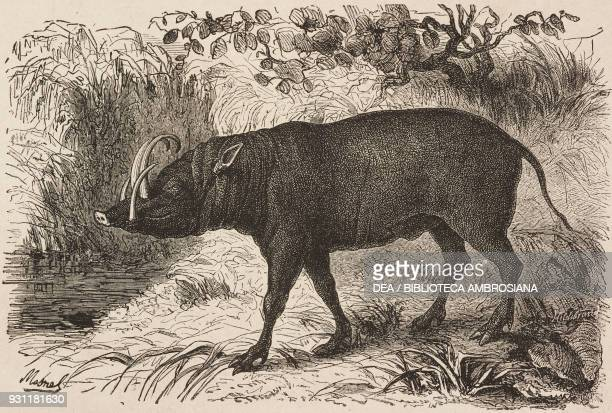 Buru babirusa drawing by A Mesnel from The Malay Archipelago 18611862 by Alfred Russell Wallace or from Il Giro del mondo Journal of geography travel...