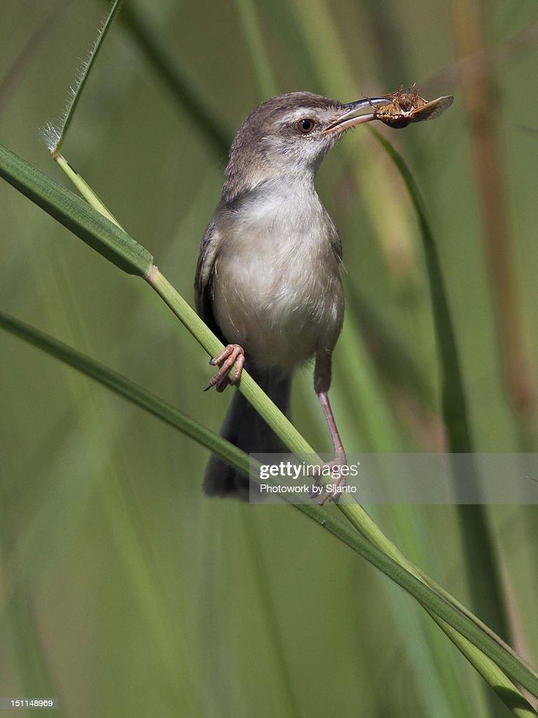 Burung Ciblek High Res Stock Photo Getty Images
