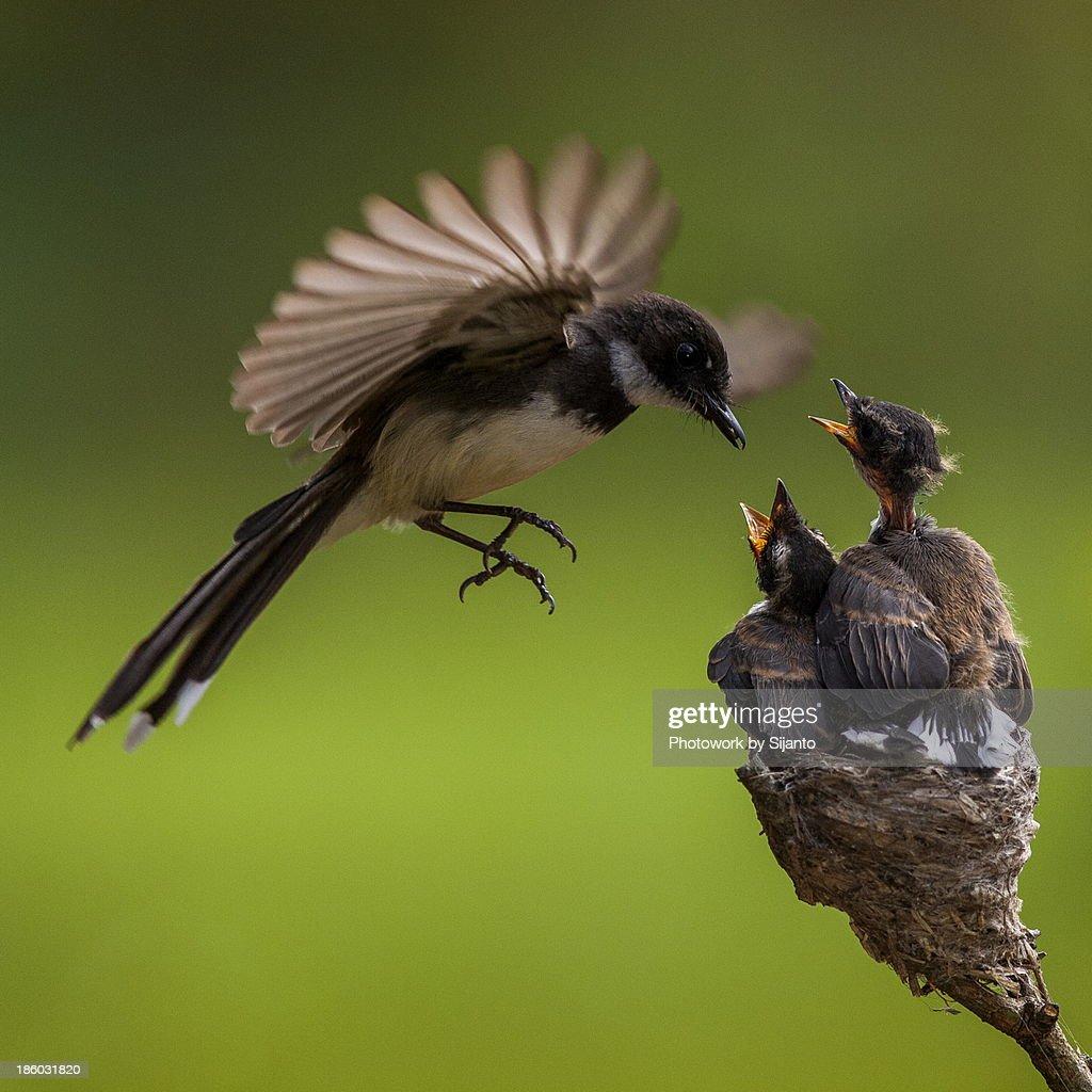 Burung Kapasan - Male : Stock Photo