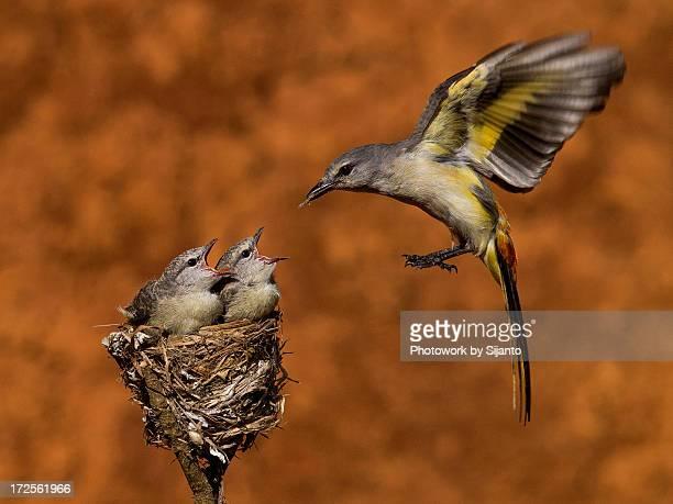 burung tledekan - female - nido de pájaro fotografías e imágenes de stock