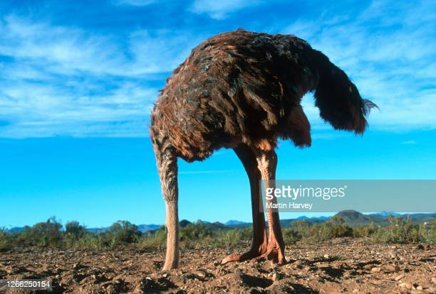 bury your head in the sand. horizontal view of a female ostrich with its head in the sand - negação imagens e fotografias de stock