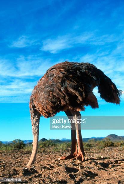 bury your head in the sand.  vertical view of a female ostrich with its head in the sand - negação imagens e fotografias de stock