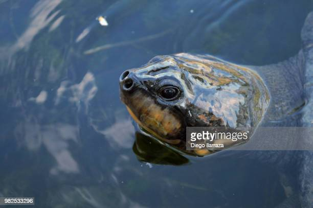 buscando comida - diego tortoise stock pictures, royalty-free photos & images