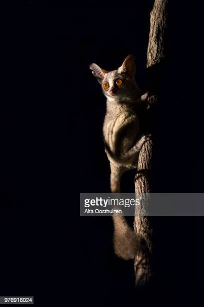 bush baby clinging to a branch in the dark illuminated by spotlight - sabie sands nature reserve south africa - bush baby stock photos and pictures