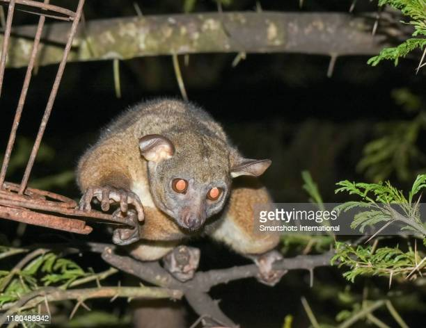 a bush baby (brown greater galago) illuminated at night descending from a tree in lion's bluff, in kenya - animal finger stock photos and pictures