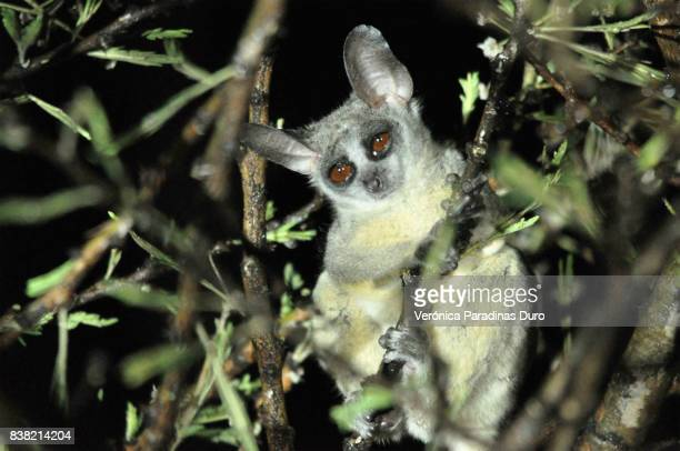 bush baby - bush baby stock photos and pictures
