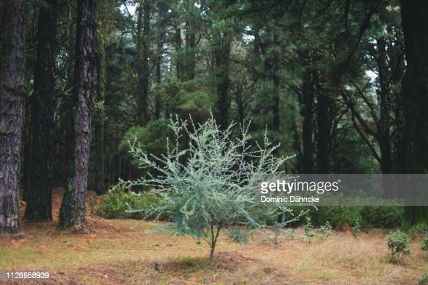 Bush between pine trees and dry grass