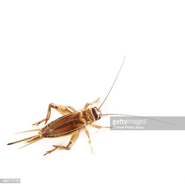 bush cricket - cricket insect stock pictures, royalty-free photos & images