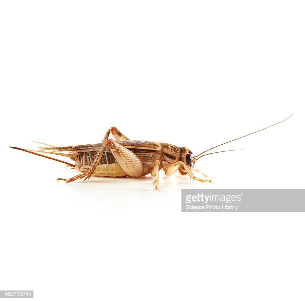 bush cricket - cricket insect stock photos and pictures