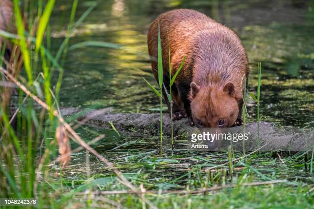 Bush dog canid native to Central and South America drinking water from pond
