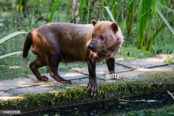 Bush dog canid native to Central and South America