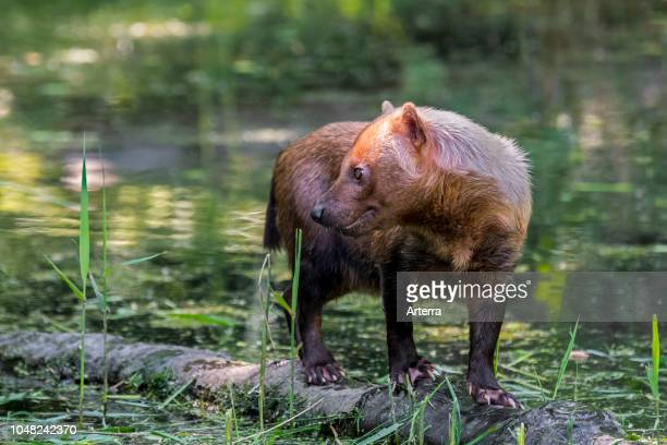 Bush dog canid native to Central and South America standing on log in stream