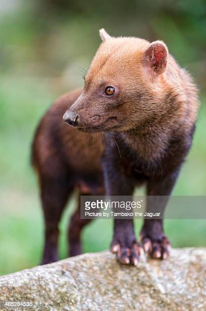 bush dog looking at the side - bush dog stock pictures, royalty-free photos & images