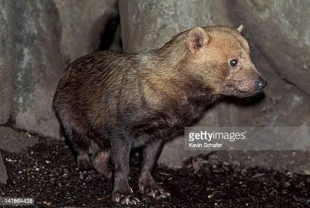 bush dog, speothos venaticus. endangered. panama - bush dog stock pictures, royalty-free photos & images
