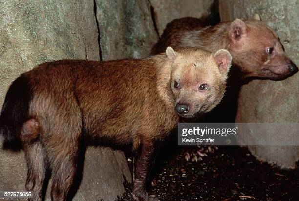 bush dogs - bush dog stock pictures, royalty-free photos & images