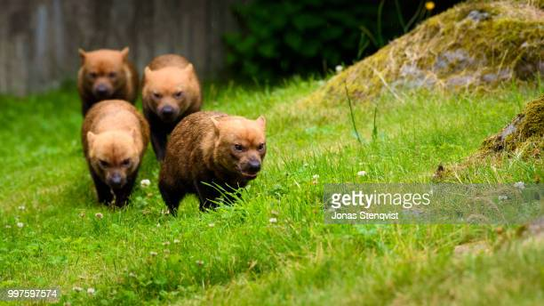 bush dogs! - bush dog stock pictures, royalty-free photos & images