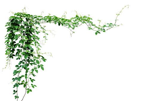 Bush grape or three-leaved wild vine cayratia (Cayratia trifolia) liana ivy plant bush, nature frame jungle border isolated on white background, clipping path included. 1013718992