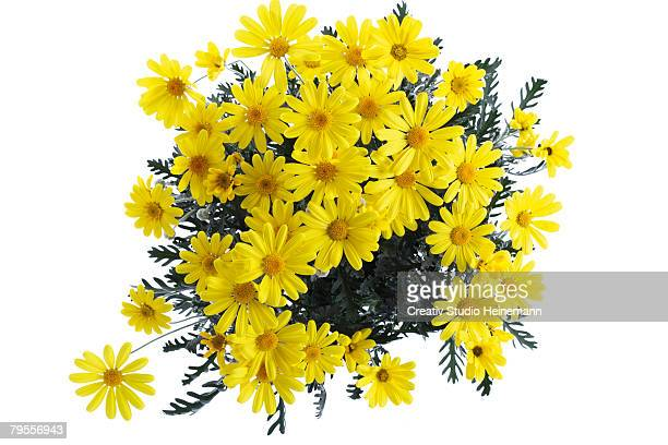bush marguerite, euryops - columbine flower stock pictures, royalty-free photos & images
