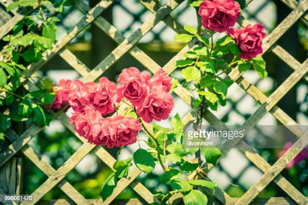 bush of beautiful roses in a garden - yarn bombing stock photos and pictures