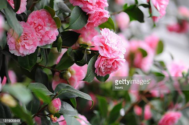 bush of japanese camellia (camellia japonica) - camellia sinensis stock photos and pictures