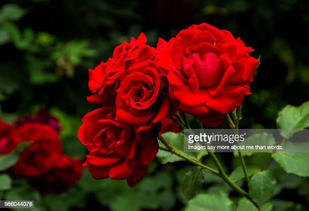 a bush of red roses makes a dramatic image. aosta, italy. - rosaceae stock photos and pictures