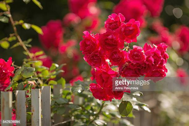 bush of roses over a white wooden fence - sofia rose stock photos and pictures