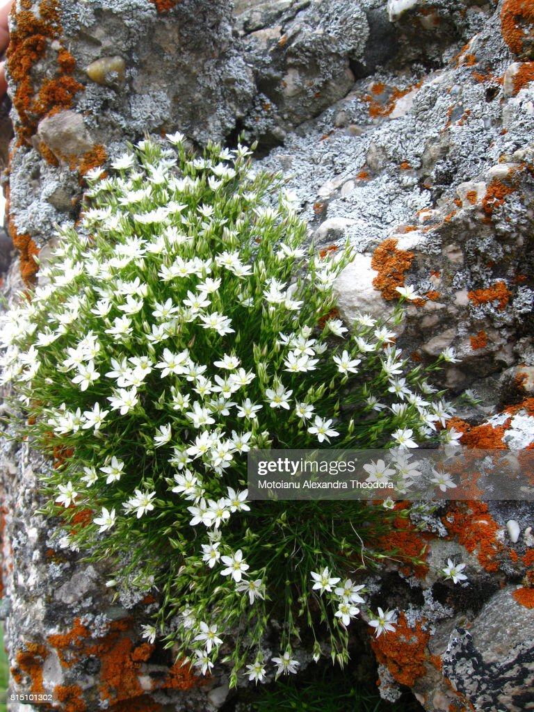 Bush Of White Flowers On Rock Stock Photo Getty Images
