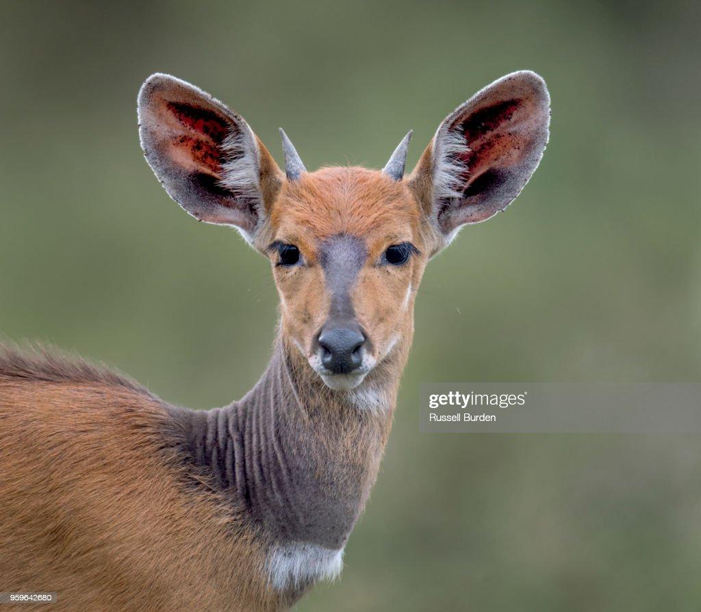 Bushbuck calf : Stock-Foto