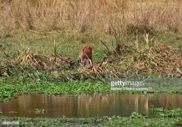Bushbuck (Tragelaphus scriptus) drinking on the shores of the Nile River