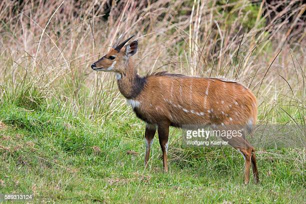 A bushbuck ram on the Nyika Plateau Nyika National Park in Malawi