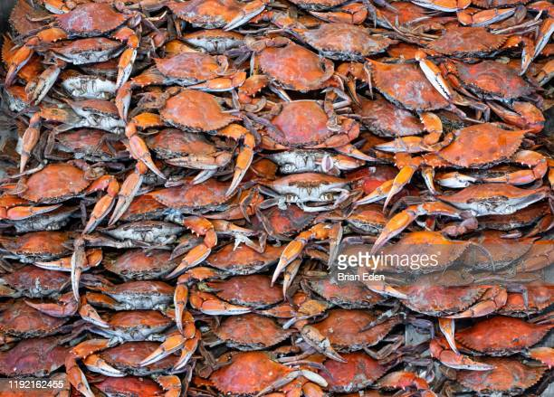 a bushel of steamed cooked maryland blue crabs - maryland état photos et images de collection