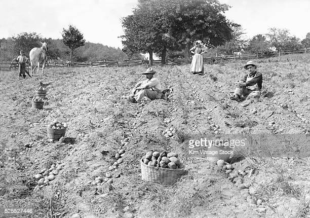 Bushels of potatoes sit in a field during harvest time