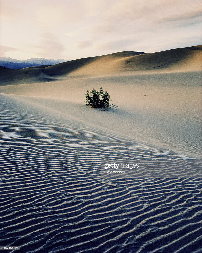 Bushes in sand dunes at dusk : Stock Photo