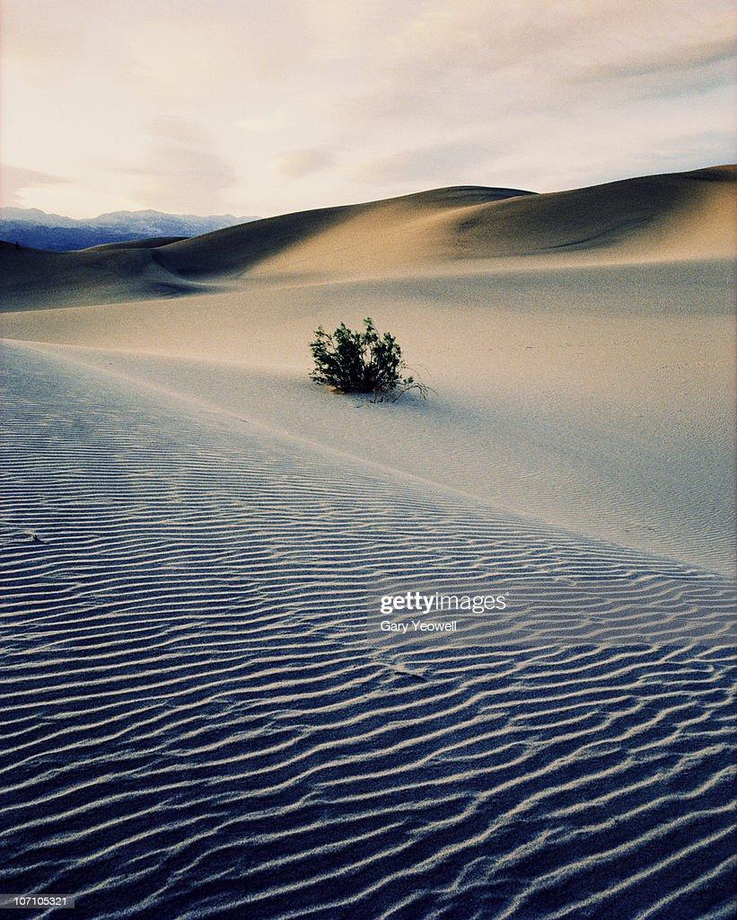 Bushes in sand dunes at dusk : Stock-Foto