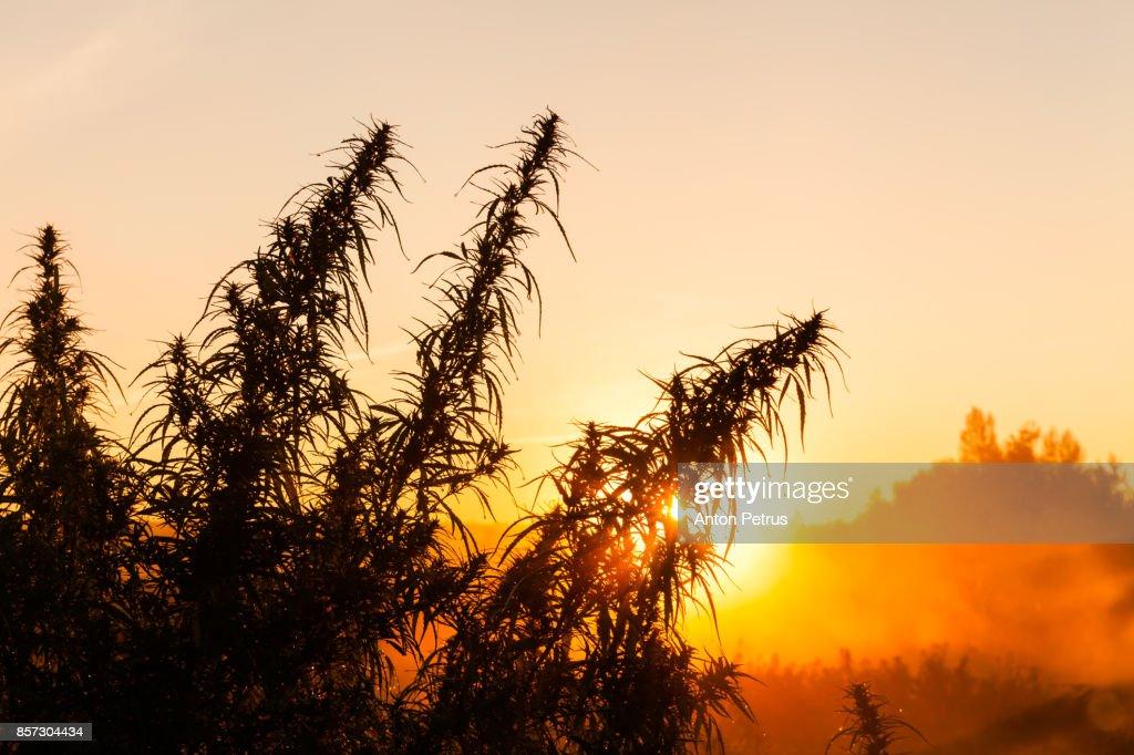 Bushes of medical marijuana at dawn : Foto de stock