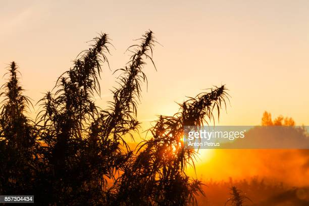 Bushes of medical marijuana at dawn