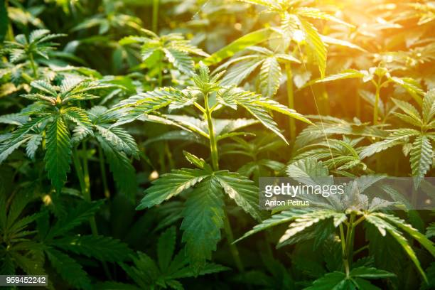 bushes of medical marijuana at dawn - cannabis oil stock photos and pictures