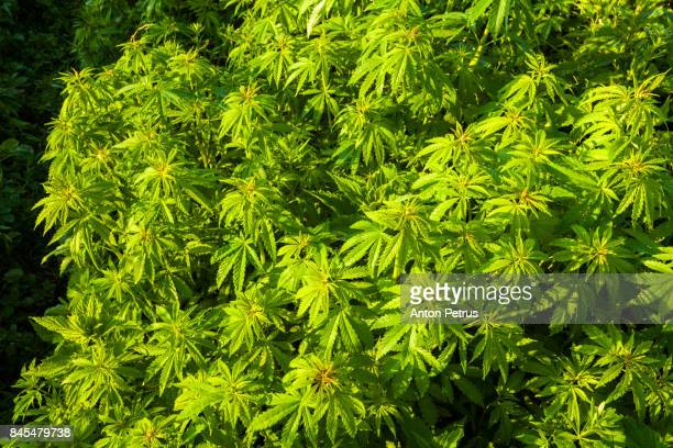 bushes of medical marijuana. - drug cartel stock pictures, royalty-free photos & images