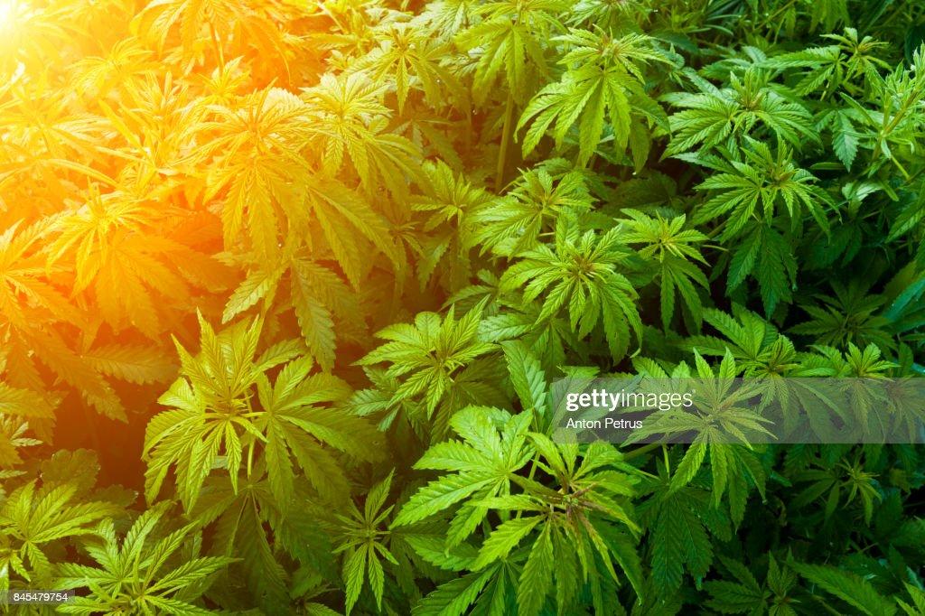 Bushes of medical marijuana. : Foto de stock