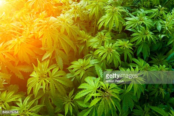 bushes of medical marijuana. - cannabis plant stock photos and pictures