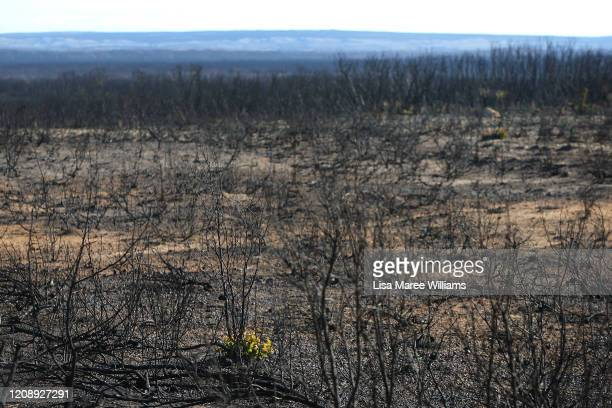 Bushfire damaged native trees and flora are seen along the West End Highway on the edge of Flinders Chase National Park on February 25, 2020 in...