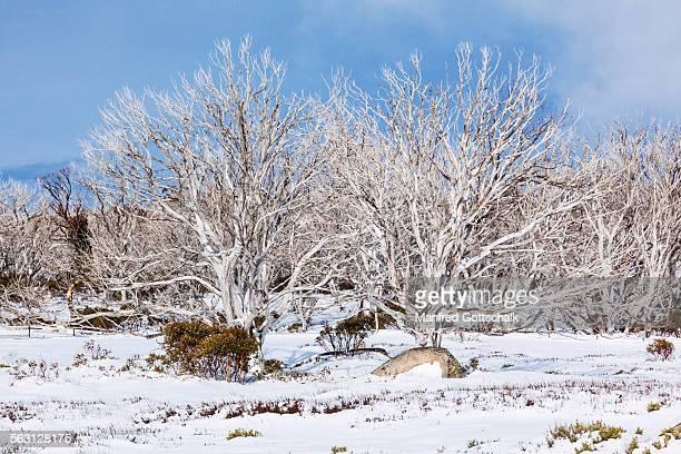 Bushfire tree ruins at Perisher